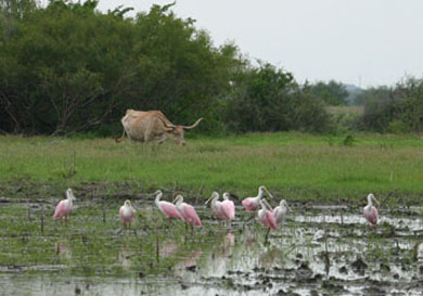 Spoonbills and Longhorn